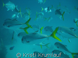 yellowtails swimming by Kristi Krumlauf 